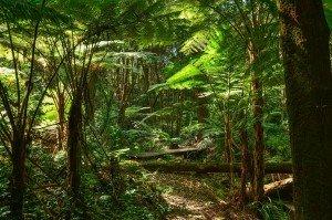 Arbustos arborescentes en Ferns