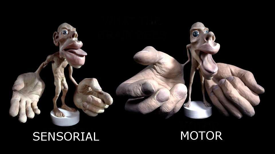 Homúnculo cortical en 3D