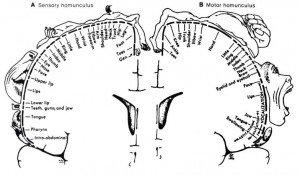 Homúnculo cortical en 2D