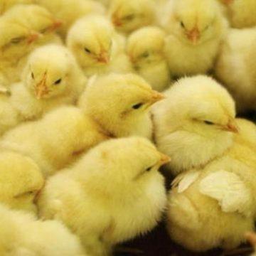 sexador de pollos escritor