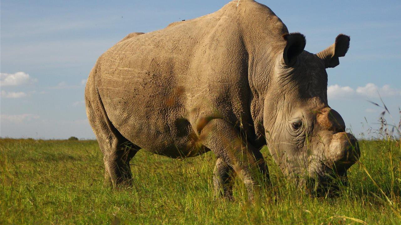 rinoceronte-extinto-sudan