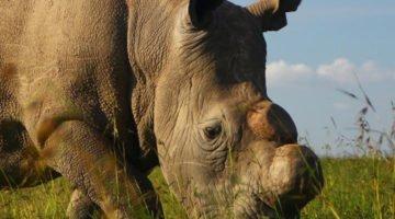 rinoceronte-sudan